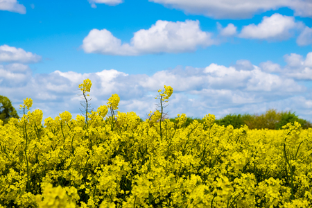 blue cloudy sky: Rape seed field set against the blue cloudy sky.