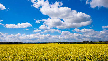 blue cloudy sky: Rape seed fields set against the blue cloudy sky.