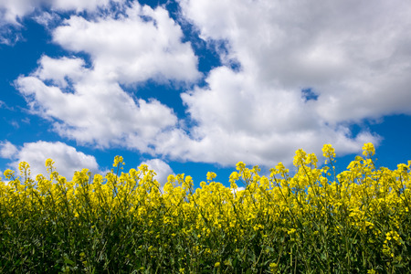 looking upwards: Rape seed field set against the blue cloudy sky. Low position of view looking upwards.