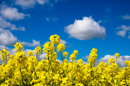 cloudy sky: Rape seed field set against the blue cloudy sky. Low position of view looking upwards.