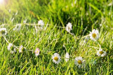 daises: Daisy Chain in the grass Stock Photo
