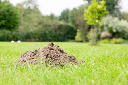 Mole mound in the garden, taken from a low position of view. Focus on mole mound. Stock Photo