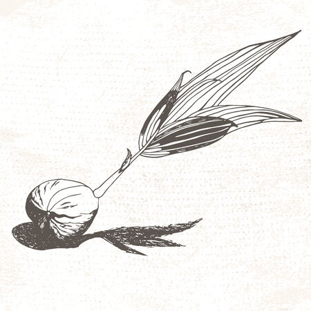 sprouting: Drawing of coconut illustration
