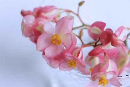 Delicate pink begonia flowers Stok Fotoğraf