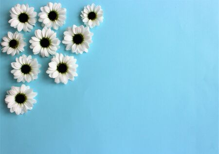 White chrysanthemums on a light blue Banque d'images