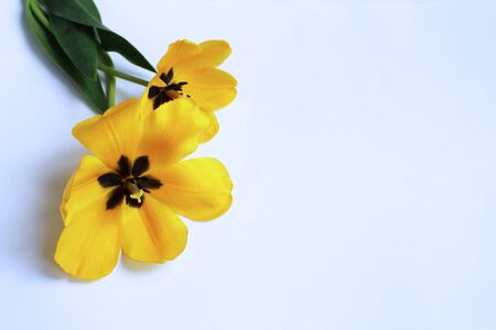 Spring bouquet of yellow tulips on a white background. Delicate flower arrangement. Background for cards, greetings, invitations. 免版税图像