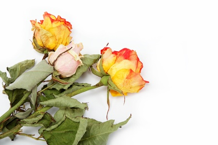 Dry roses on a white background  Stock Photo - 14704440