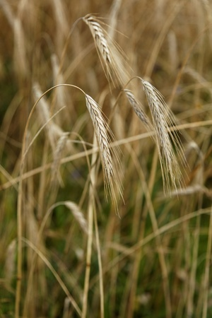 golden barley photo