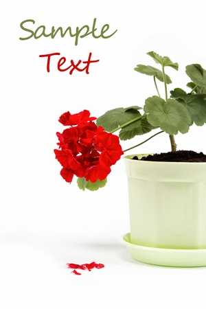 Beautiful red geranium in a flower pot on a white background. Stock Photo - 14842621