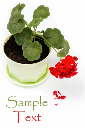 Beautiful red geranium in a flower pot on a white background. Stock Photo - 14863060