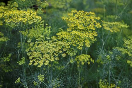 Fennel flower on a green background. Flower of dill.