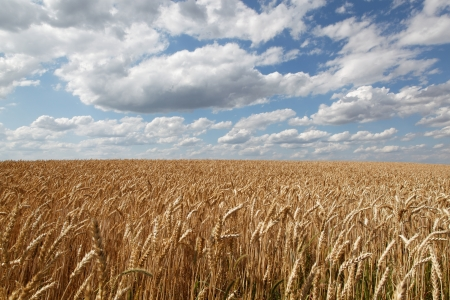 reaping: Wheat ears against the blue sky