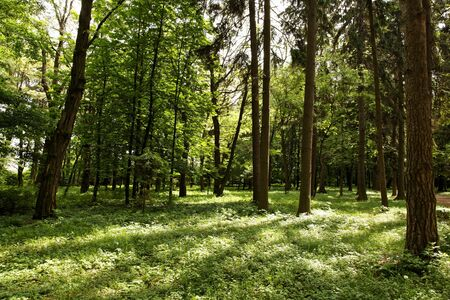 basswood: Sunshine in the green forest