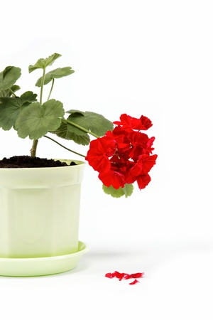 Beautiful red geranium in a flower pot on a white background. photo
