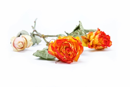 Dry roses on a white background. Stock Photo - 15091285