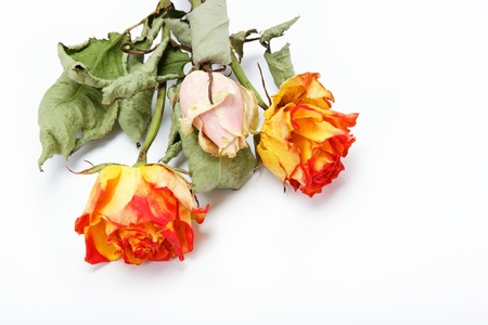 Dried roses on a white background. Stock Photo - 15091907