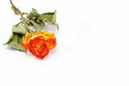 Dry rose on a white background. Stock Photo - 15091209