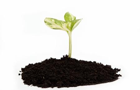 replant: Verde germoglio dalla terra su uno sfondo bianco. Archivio Fotografico