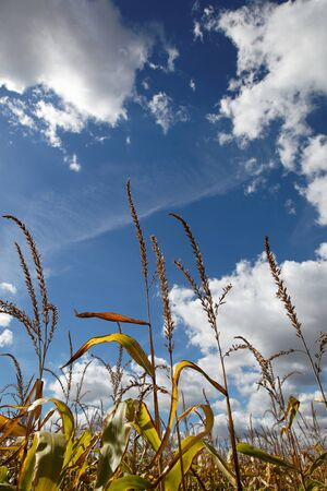 Corn plants against the blue sky. photo