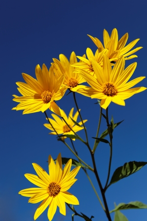 Yellow topinambur flowers (daisy family) against blue sky photo