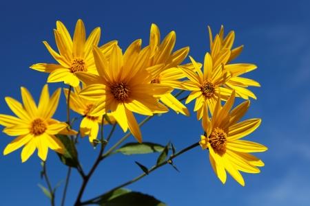 Yellow topinambur flowers (daisy family) against blue sky