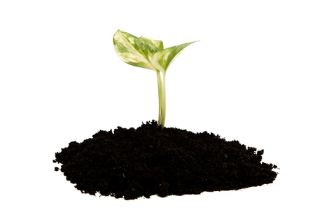 replant: Green sprout from the earth on a white background.