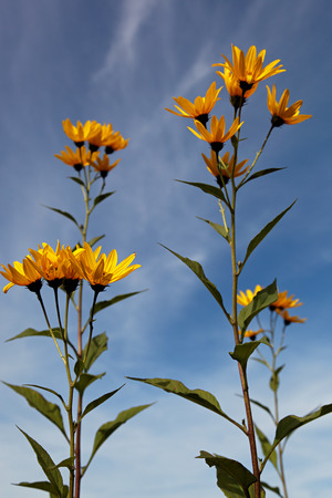 Yellow topinambur flowers (daisy family) against blue sky. photo