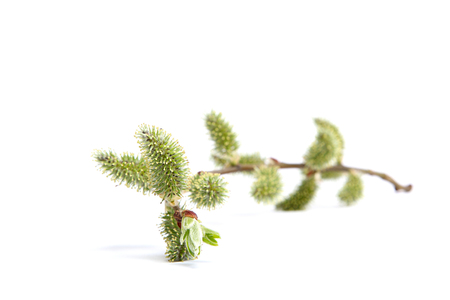 Delicate flowering willow branches isolated on white background.