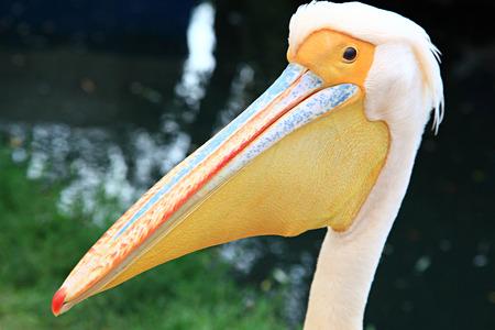 Pelican head  photo