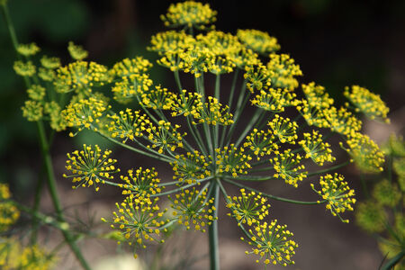 inflorescence: Inflorescence dill on green background.