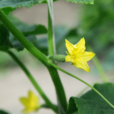 Flowering cucumber seedling with a small cucumber. photo