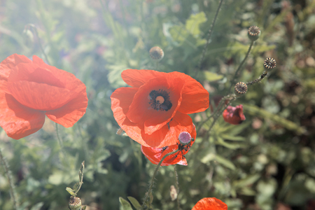 Beautiful red poppies in a field. photo