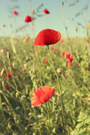 Beautiful red poppies in a field.
