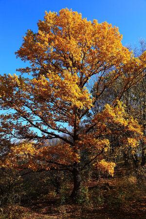 Beautiful oak tree in yellow autumn foliage. photo