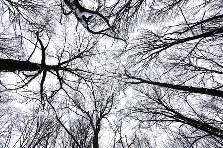 tree trunks: The tops of the trees in winter forest on sky background.