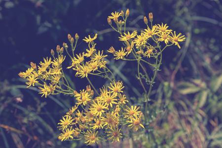 yellow wildflowers: Yellow wildflowers in green grass.