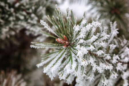 Snow and frost on the needles of pine branches.