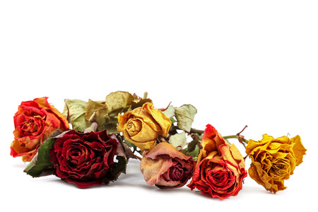 Dry flowers rose isolated on white background.