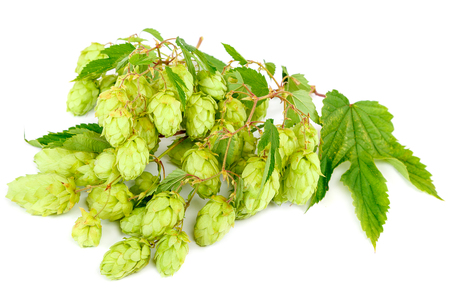 Fresh hops on a branch with leaves isolated on white background. Stock Photo
