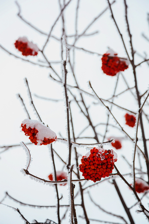 sopel lodu: Bunches of red ashberry covered with snow.