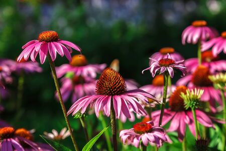 Echinacea flowers in the garden on a sunny day.