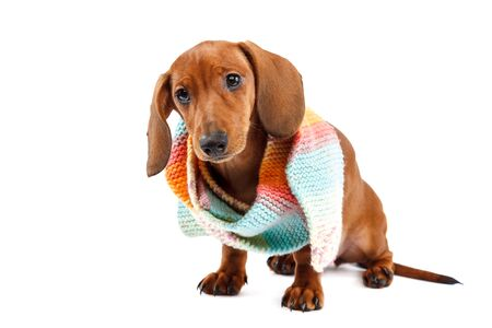 A red-haired smooth-haired dog of a dachshund breed is isolated on a white