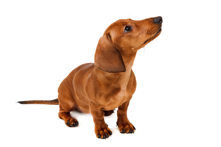 Puppy breed smooth-haired dachshund, isolated on white background.Red-haired dog. Stock Photo