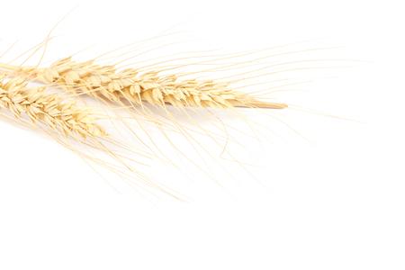 Weizenohr lokalisiert auf weißem Hintergrund.