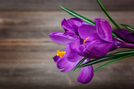 Crocus flowers on the a wooden background. Stock Photo