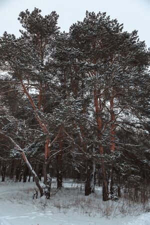 Winter pine forest under white snow. Landscape.