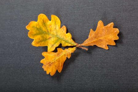 Oak maple leaves on a black background. Standard-Bild