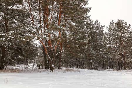Winter pine forest under white snow. Landscape.