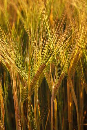 Ripe ears of wheat field as background.