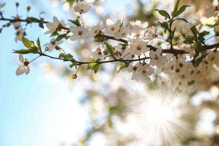 Flowering branch of an apricot tree against a blue sky.
